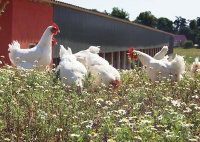 Hühner draußen