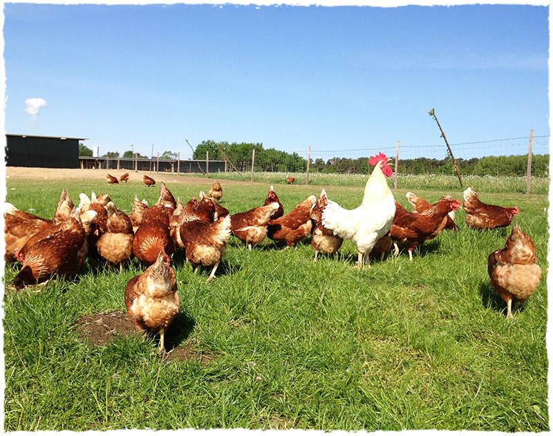 Freilandhaltung Huhn
