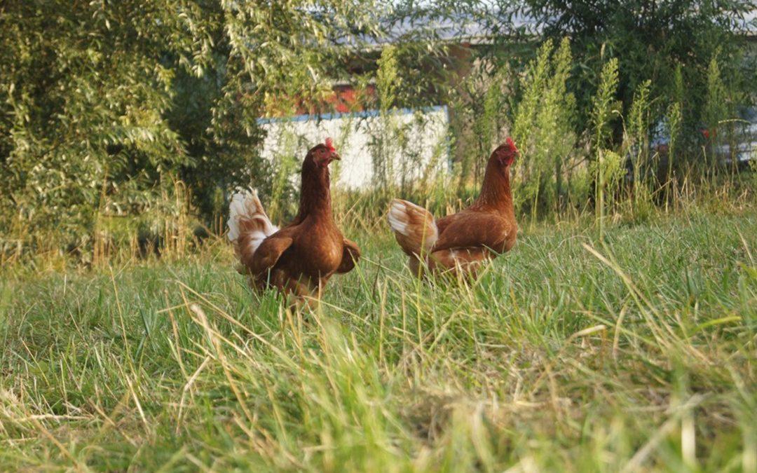 Sonne satt: So kühlen sich unsere Hühner ab