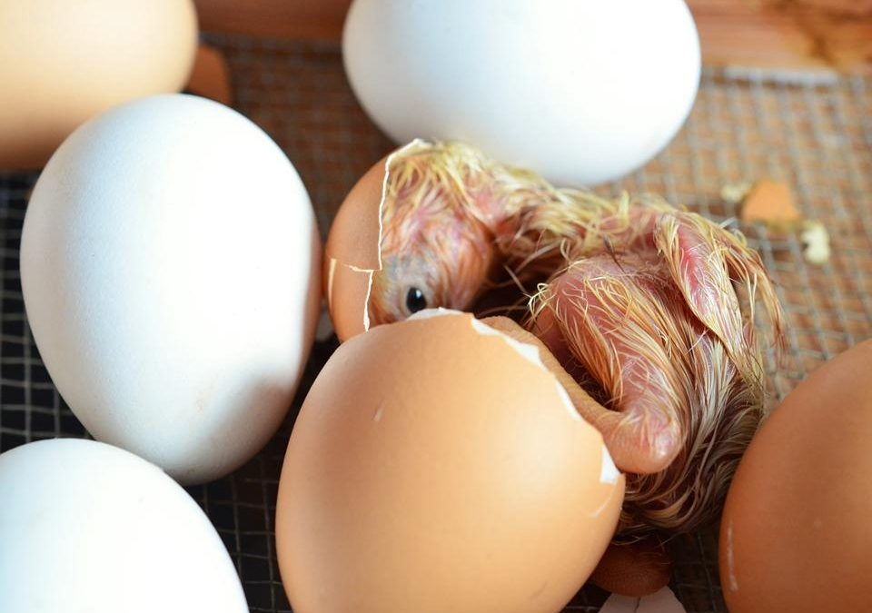 Vom Ei zum Küken-der Schlupf unserer haehnlein