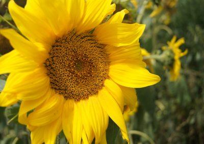Blütenkorb einer Sonnenblume von haehnlein