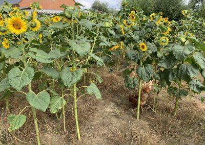 haehnlein Sonnenblumen im Huehnerauslauf Finkenthal