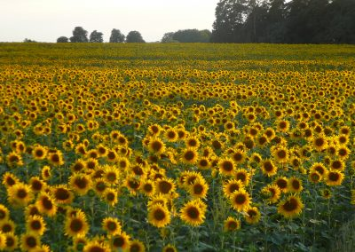 haehnlein_Sonnenblumenfeld